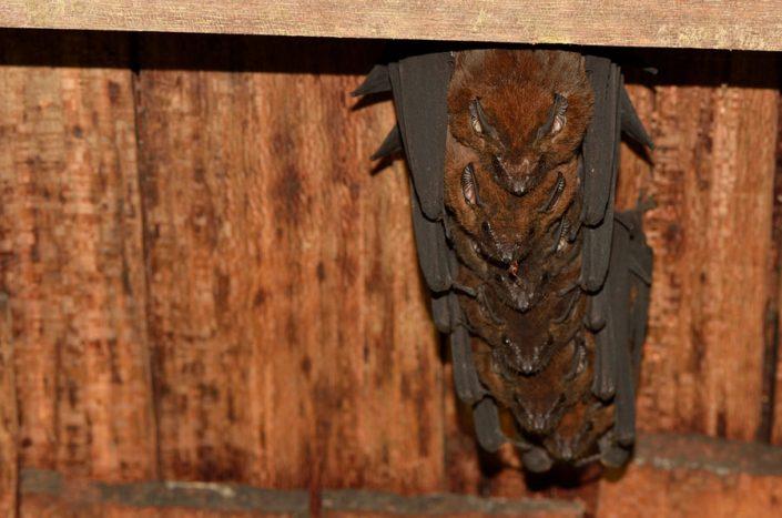 Cormura brevirostris / French Guiana