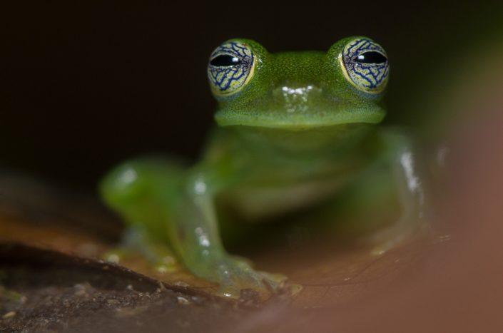 Nicaragua Giant Glass Frog (Espadarana prosoblepon) / Panama