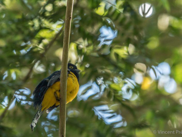 Guianan Trogon (Trogon violaceus) / Gamboa (Panama)