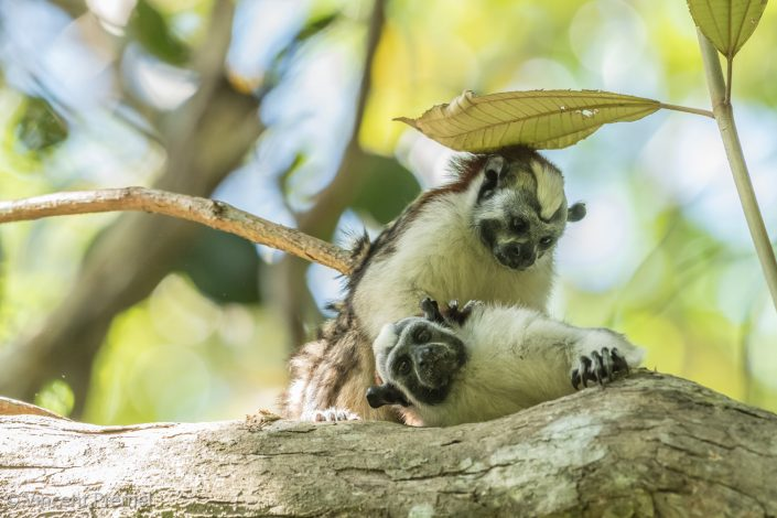 Geoffroy's tamarin (Saguinus geoffroyi) / Gamboa (Panama)