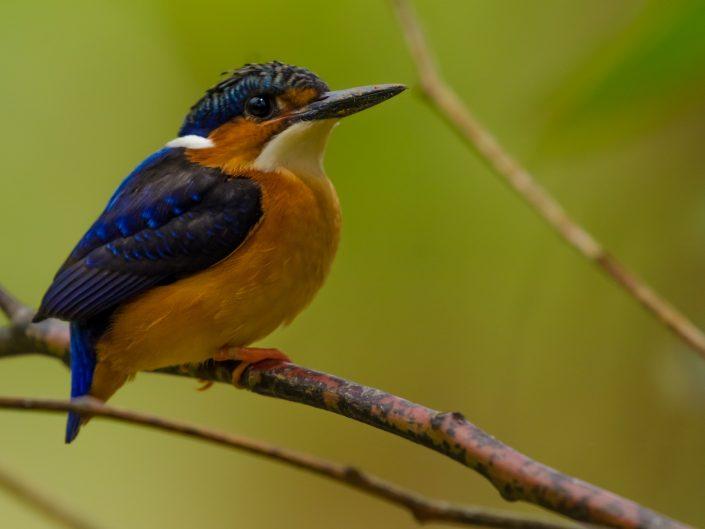 Malagasy Kingfisher (Corythornis vintsioides) / Andasibe (Madagascar)