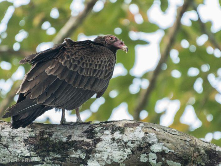 Turkey Vulture (Cathartes aura) / Gamboa (Panama)