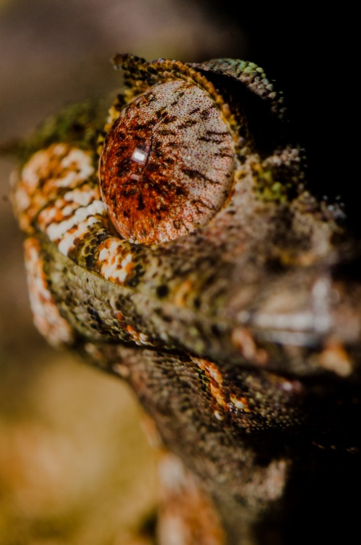 Uroplatus phantasticus / Madagascar