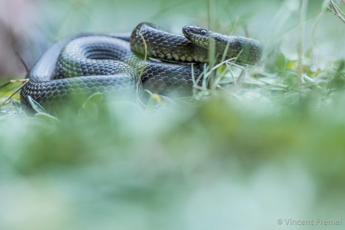 Smouth snake (Coronella austriaca) / France