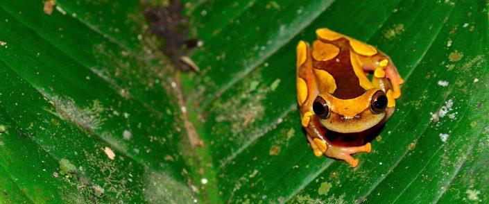 Dendropsophus leucophyllatus / French Guiana