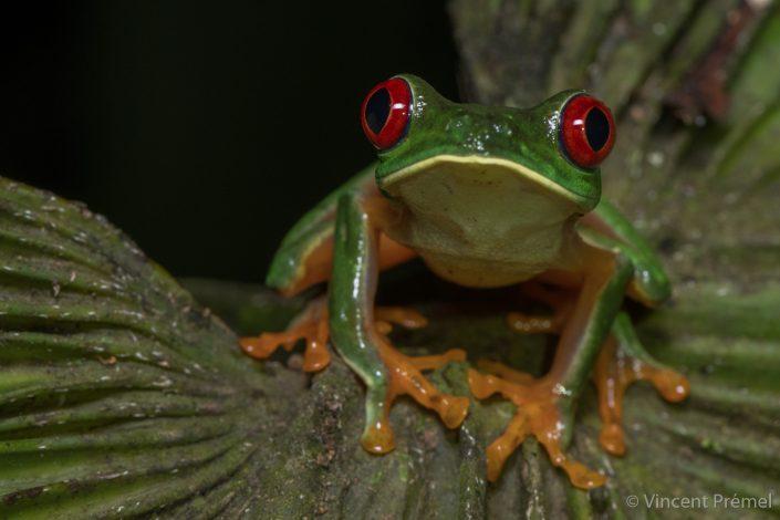 Agalychnis callidryas / Gamboa (Panama)