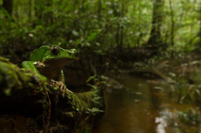 Phyllomedusa bicolor / French Guiana