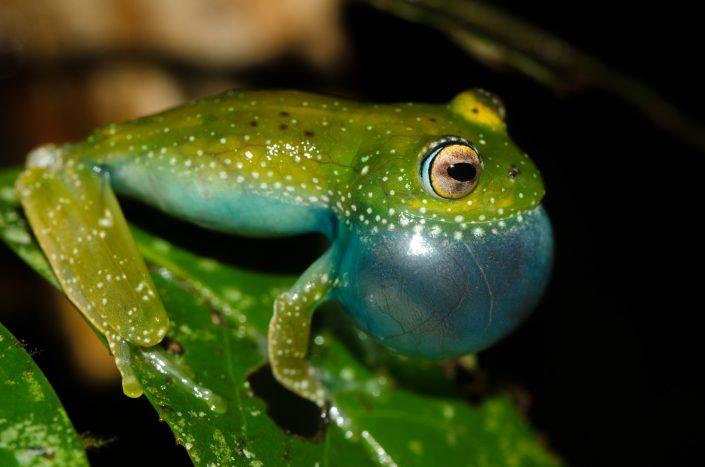 Boophis sibilans / Madagascar