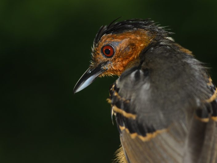 Black-headed Antbird (Percnostola rufifrons) / Montagne des singes (French Guiana)