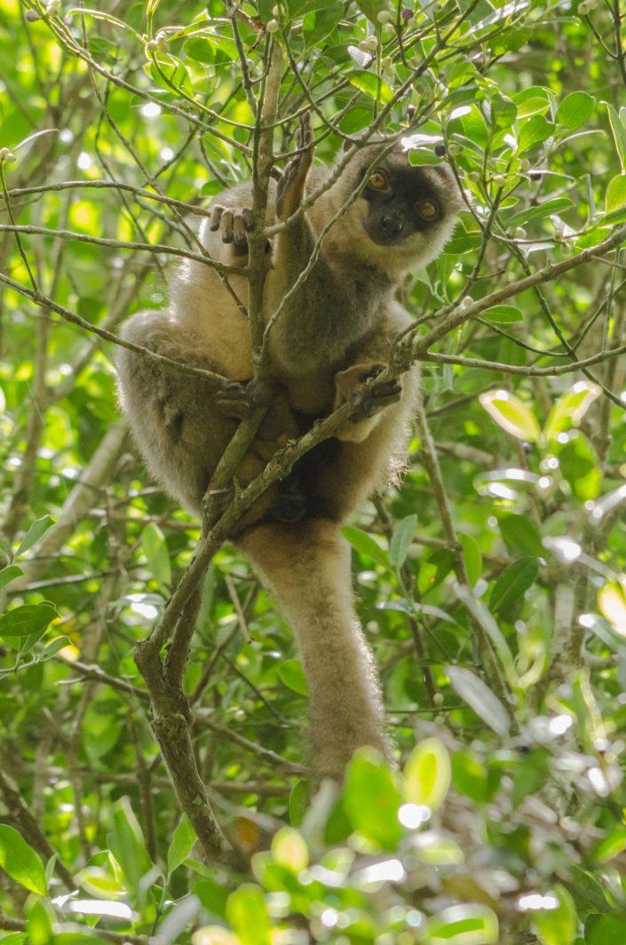 Brown Lemur (Eulemur fulvus) / Andasibe (Madagascar)