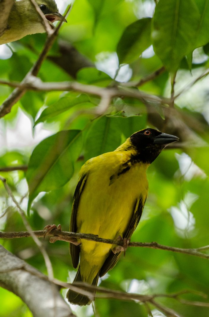 Village Weaver (Ploceus cucullatus) / La Réunion