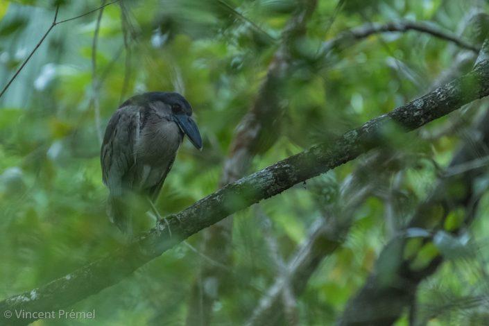 Boat-billed Heron (Cochlearius cochlearius) / Bocas del Toro (Panama)