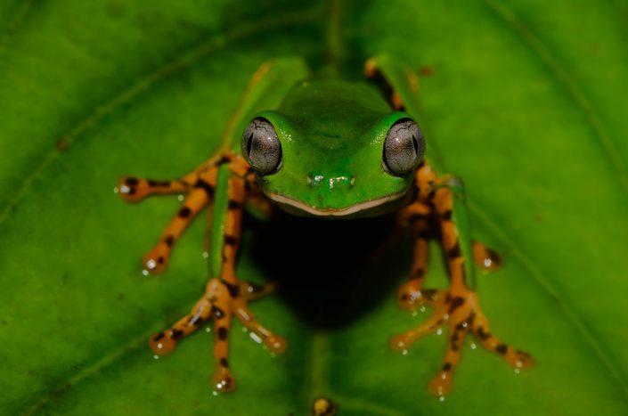 Phyllomedusa tomopterna / Kaw (French Guiana)