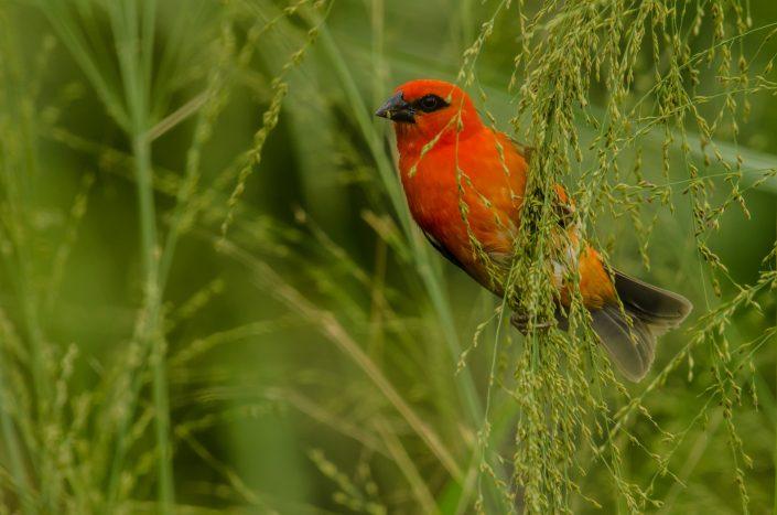 Red Fody (Foudia madagascariensis) / La Réunion