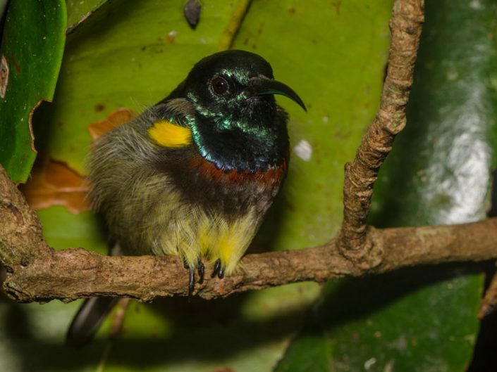 Souimanga Sunbird (Cinnyris sovimanga) / Mitsinjo (Andasibe - Madagascar)