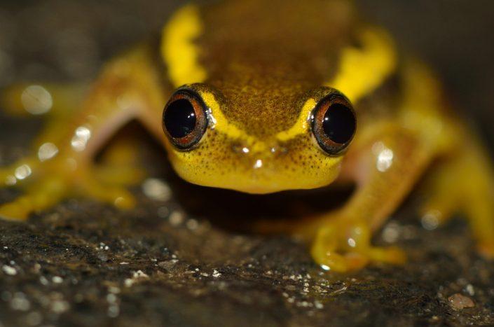 Heterixalus betsileo / Madagascar