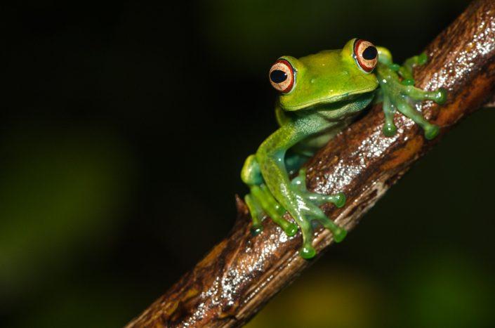 Boophis luteus / Madagascar