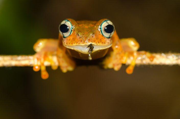 Boophis pyrrhus / Madagascar