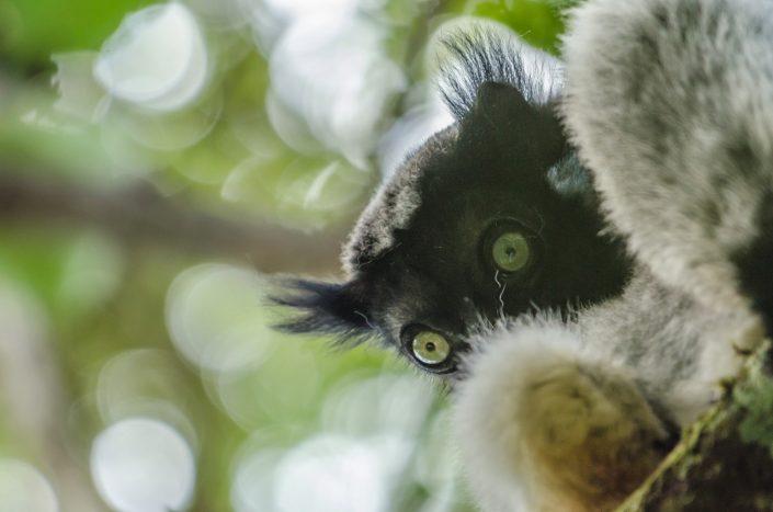 Indri indri / Andasibe (Madagascar)