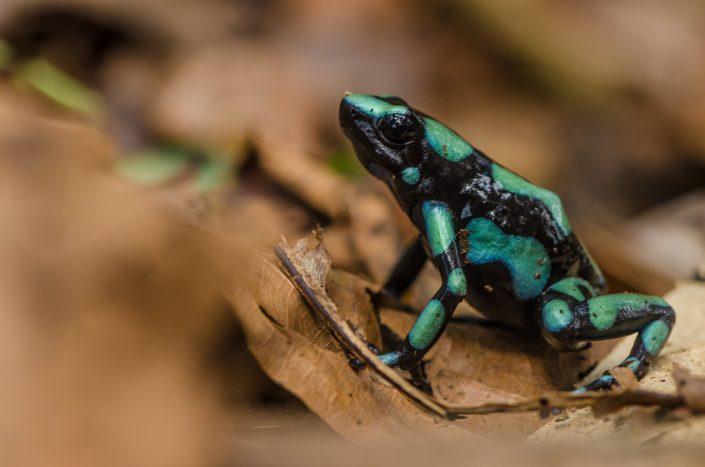 Dendrobates auratus / Panama