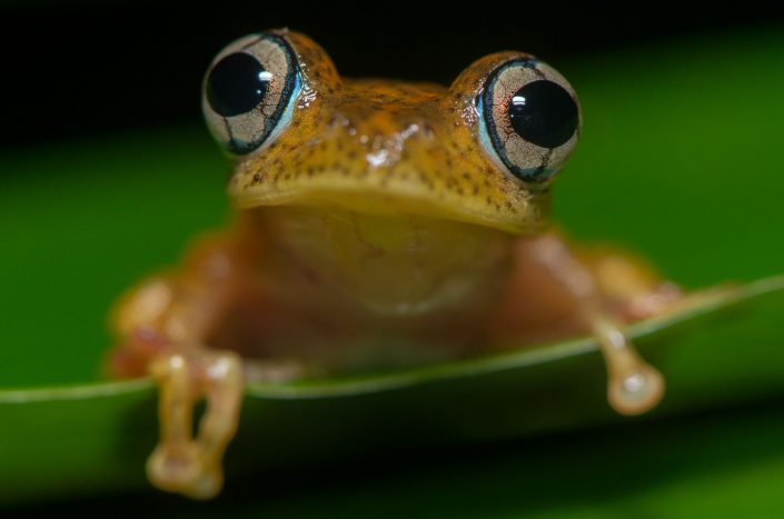 Boophis pyrrhus / Andasibe (Madagascar)