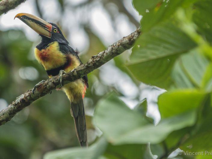 Collared Aracari (Pteroglossus torquatus) / Ecuador