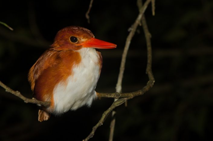 Madagascan Pygmy Kingfisher (Corythornis madagascariensis)