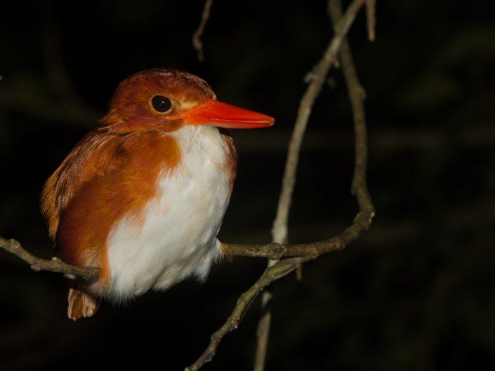 Madagascan Pygmy Kingfisher (Corythornis madagascariensis)