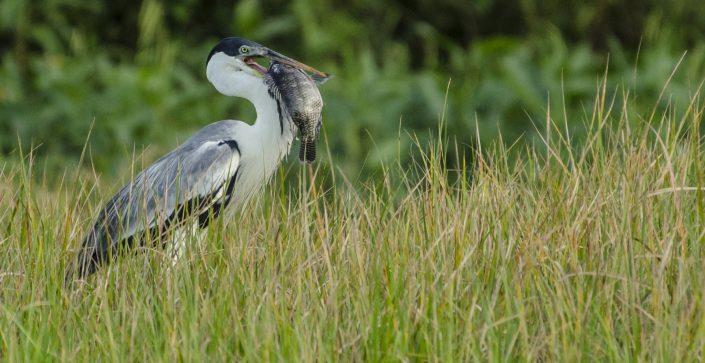 Cocoi Heron (Ardea cocoi) / Bayano lake (Panama)