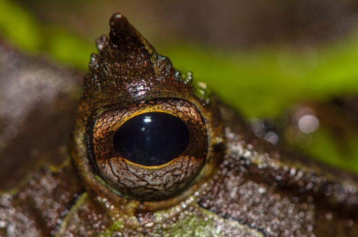 Ceratophrys cornuta / French Guiana