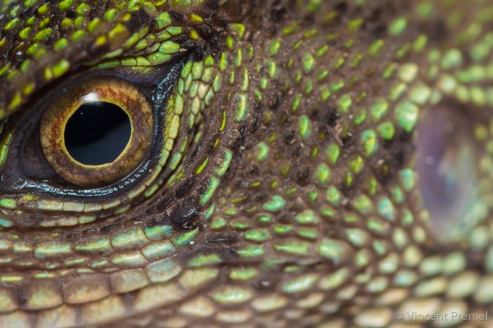 Enyalioides laticeps / Ecuador