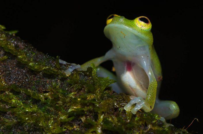 Hyalinobatrachium cappellei / French Guiana