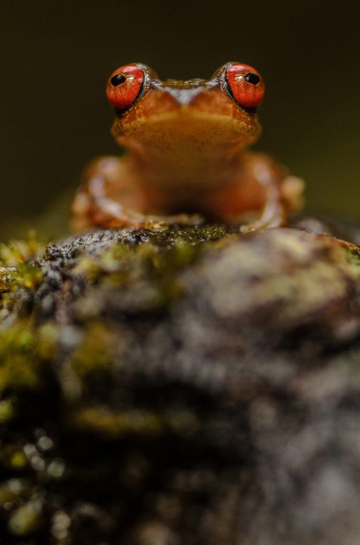 Boophis boehmei / Madagascar