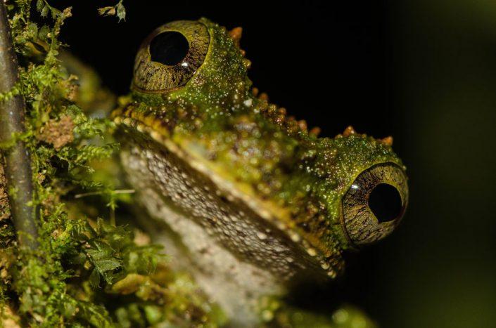 Osteocephalus cabrerai / French Guiana