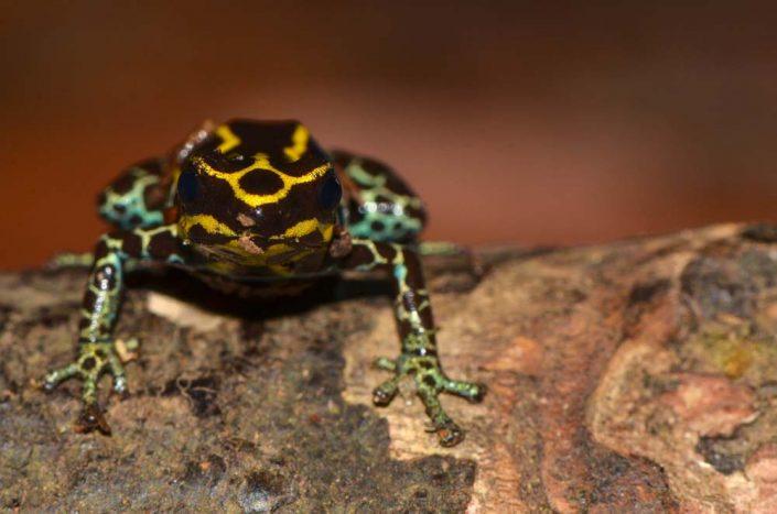 Ranitomeya amazonica / French Guiana