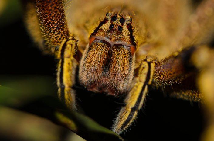 Phonteutria sp. / French Guiana