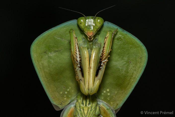 Praying mantis / Ecuador