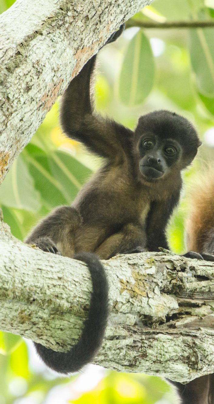 Young mantled howler (Alouatta palliata) / Bayano lake (Panama)