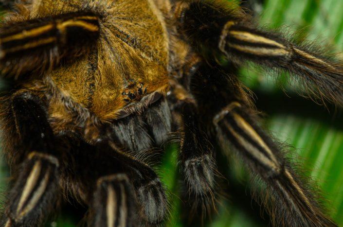 Ephebopus murinus / French Guiana