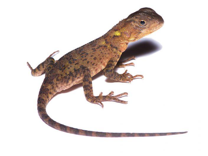 Enyaloides heterolepis / Ecuador