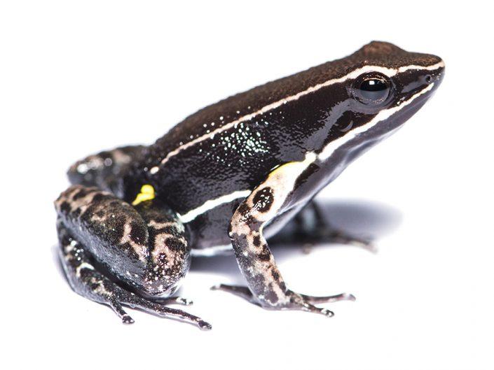 Allobates femoralis / Ecuador