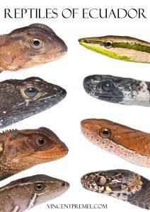 Ecuador, frog, reptile, vincent premel, herping, Nikon, D500, white background