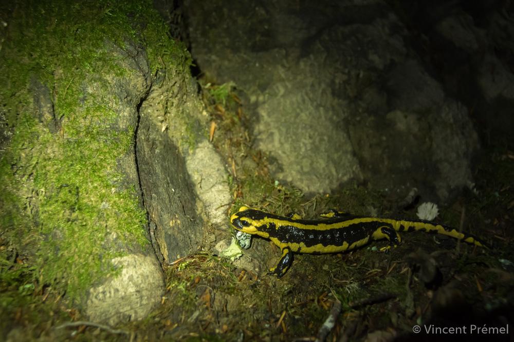 Salamandra salamandra fastuosa