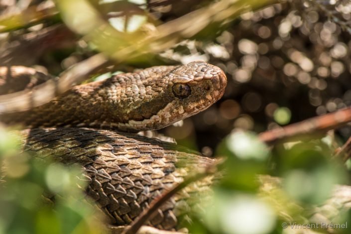vipera aspic, vipère, soeani, snake, france, french, nikon, D500, herping, trip, travel